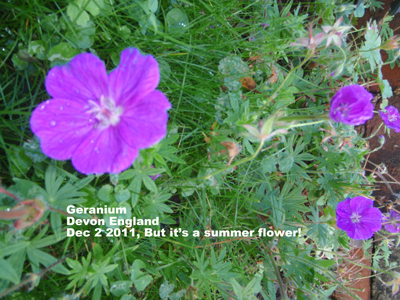 Geranium-summerflower-PB270242.jpg